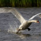 The Swan King of Naas